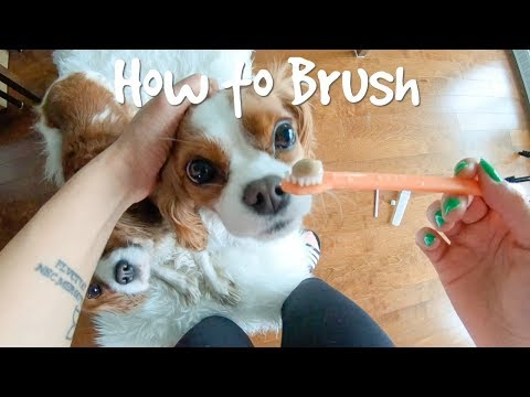 how-to-brush-your-dog's-teeth