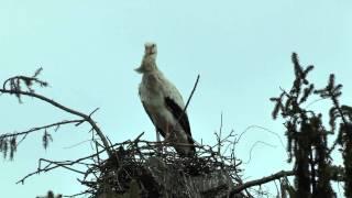 Le retour des cigognes à Dornach