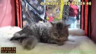 De Nicole питомник шотландской вислоухой, котята 2