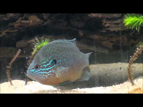 75G Native Sunfish Tank