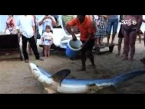 VTC14_Lần đầu tiên cá mập trắng dạt vào bãi tắm Nha Trang