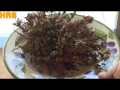 Rose Of Jericho Plant | Selaginella Lepidophylla | From Start To Finish Watch It Come Alive!