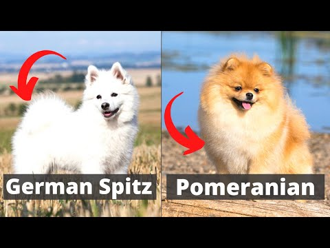 German Spitz vs Pomeranian: Which one would be better for you?