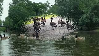 Сегодня праздник у гусей, поездка в  мерседесе! Аnimals,Tiere
