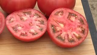 MANEKRO И DUMAS F1 - Нови хибриди домати от Синджента
