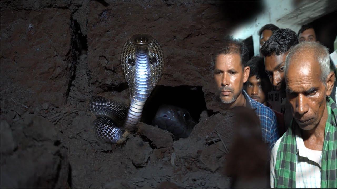 ज़हरीला कोबरा नेवला के डर से घर के नीव पे आ बैठा कैसे, नेवला ने किया बुरा हाल,Venomous Snake Rescue