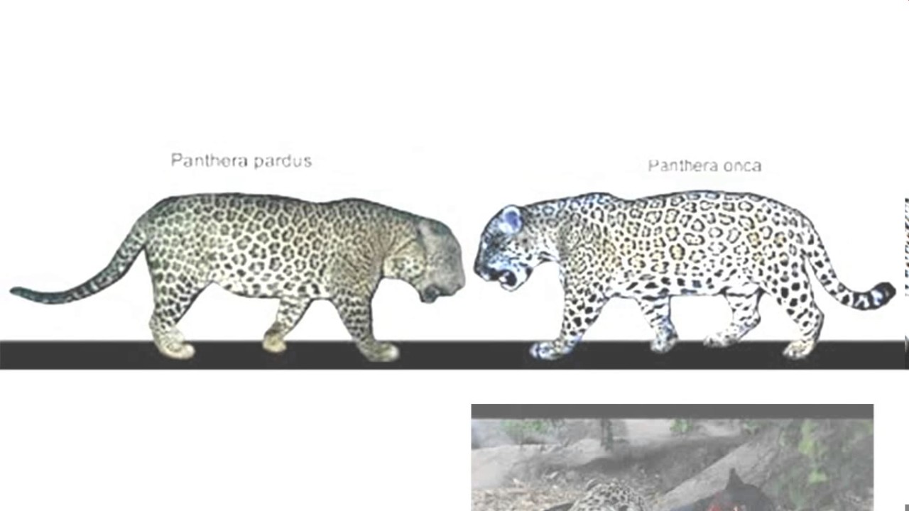 a comparison between the jaguar and leopards Difference between panther and leopard difference between jaguar and leopard difference between tiger and leopard difference between panther and cheetah difference between jaguar and cheetah filed under: animals tagged with: albino panthers, big cat, jaguar, leopard, panther, panthera onca, puma, white panthers about the author: naveen naveen is a doctoral student in.