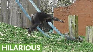 Athletic ape shows off back flip skills