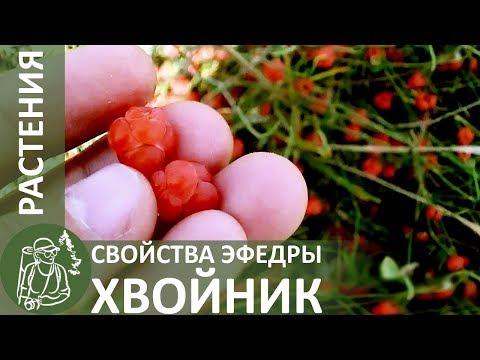 Эфедра (трава) – полезные свойства и применение эфедры