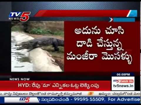 Crocodile Threat at Manjeera Barrage : TV5 News