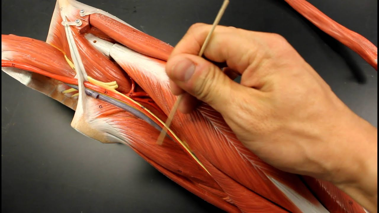 MUSCULAR SYSTEM ANATOMY: Medial thigh region muscles model ...