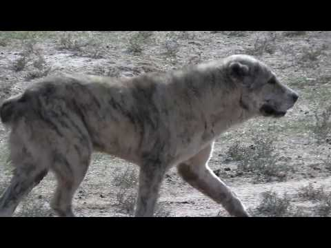 видео: Аборигенные САО Таджикистана   Саги Дахмарда  Тигровый кобель
