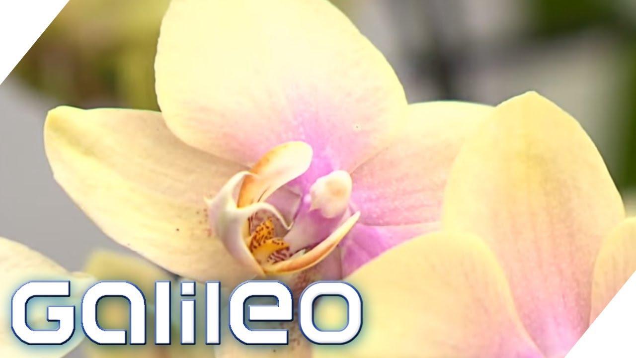 Teuer vs. Billig: So kommen Orchideen in den Laden | Galileo | ProSieben
