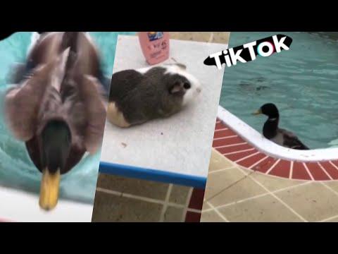 TikTok Best Of Jerry The Duck