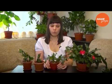 Комнатный цветок Спатифиллум (женское счастье), уход в