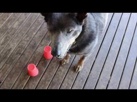 Australian Kelpie  Intelligence Test