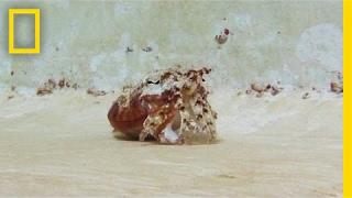 This Sea Creature Does an Awesome Hermit Crab Impression | National Geographic thumbnail
