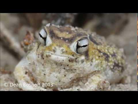 Desert Rain Frog: The Amphibian That Sounds Like A Dog's