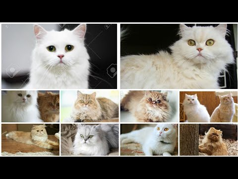 My Persian Cats Memories | Persian Cats, Saint Bernard, Pomerian and my Other Pets |Funny Reaction|