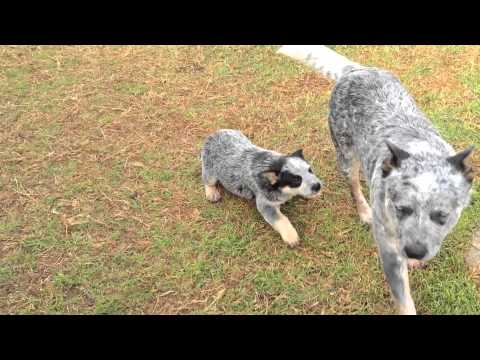 Australian Cattle Dogs : HallsHeelers Puppy Update #34 - 6th July 2013