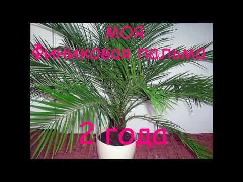 Моя финиковая пальма- 2 года