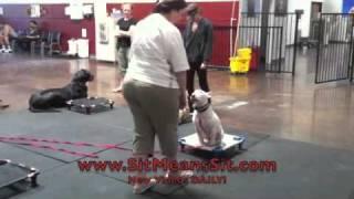 Las Vegas Dog Training Group Class With Deaf Bull Terrier