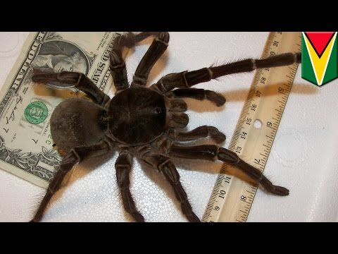Ptasznik goliat, czyli pająk wielkości szczeniaka