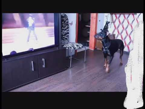 Perro baila junto a Michael Jackson - Billie Jean