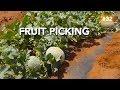 LE FRUIT PICKING DE MELON, MOUNT MAGNET AUSTRALIE 2/2