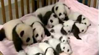 Panda-Babys: Süße schwarz-weiße Fellknäuel!