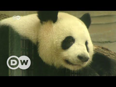 Panda-mania hits Berlin   DW English