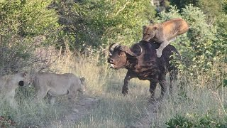 Brave Buffalo Battles Against Seven Bloodthirsty Lions