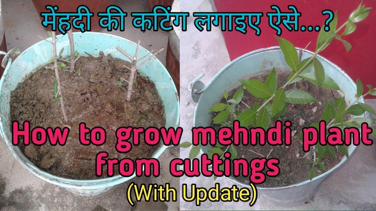 How to grow henna