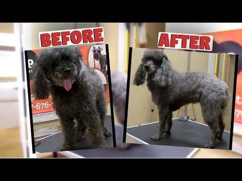 How to groom a Miniature Poodle (Matted Face)