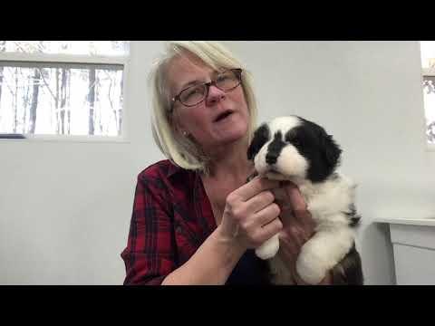 Kaigan Kennels Australian Shepherds - Dec 2018 - Cherry Red girl blk tri
