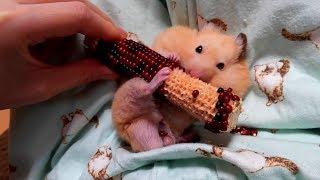 大好きなトウモロコシを食べるキンクマハムスターのチーズくん。 今まで...