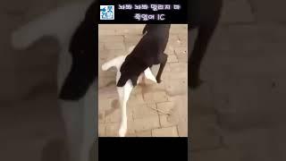 웃긴영상 레전드 짤 - 놔봐 놔봐 말리지마, 싸움말리는 강아지