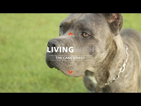 ALL ABOUT LIVING WITH CANE CORSO