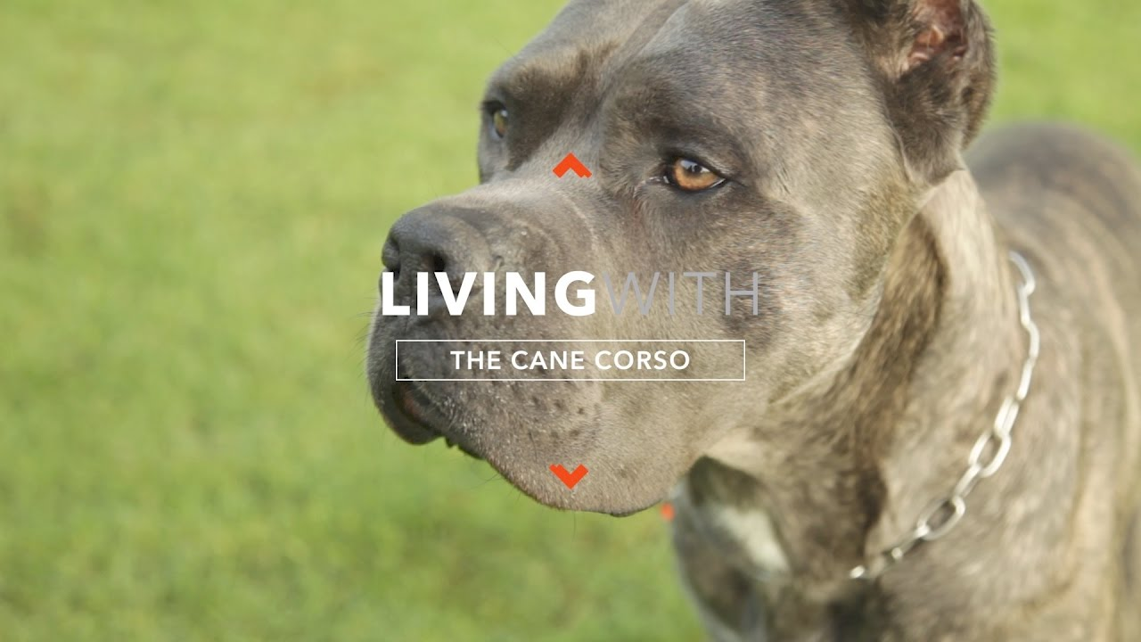 All About Living With Cane Corso Youtube
