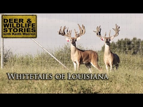 Big LA Whitetails | Whitetails Of Louisiana Part 1