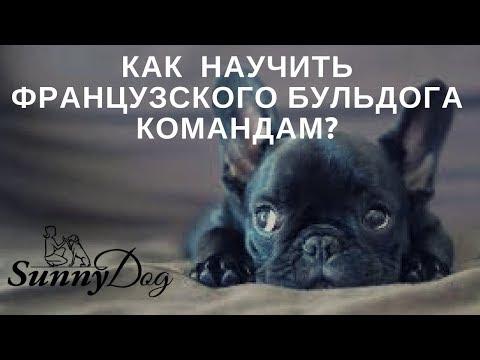 Как дрессировать собаку в домашних условиях французский бульдог