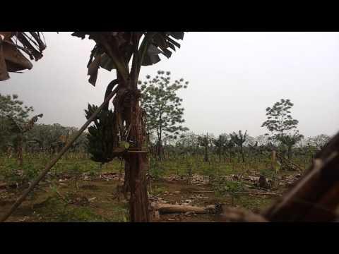Bẫy chòe than, mồi gọi rất sung của Toản, Tản Lĩnh,Ba Vì, HN 30/3/2014