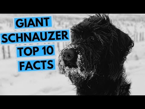 Giant Schnauzer - TOP 10 Interesting Facts