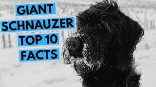 Giant Schnauzer  TOP 10 Interesting Facts