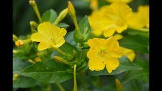 Мирабилис или ночная красавица.  Неприхотливое растение для сада, цветника!!