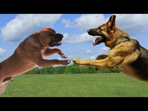 American Staffordshire terrier VS German Shepherd Dog   Highlights