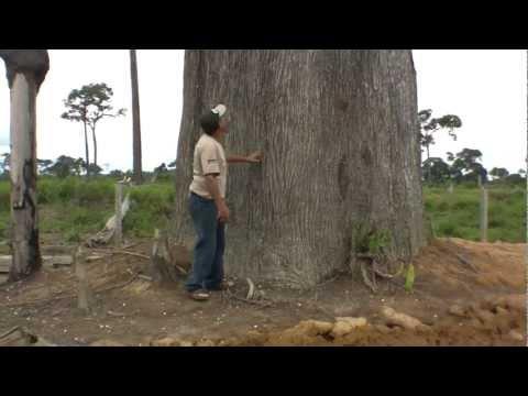Árvores da Amazônia - Castanheiras do Brasil gigantescas. (Nova Bandeirantes MT)