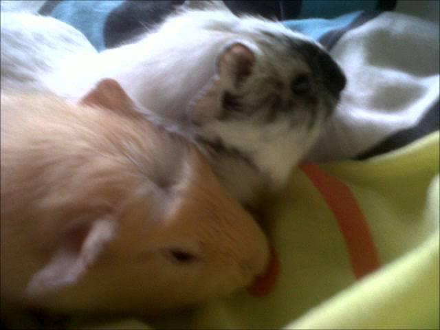 Guini Pigs