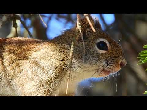 Red Squirrel Alarm Calling