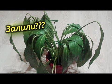 Залили Растение? Как спасти залитое комнатное растение!